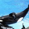 Nach Jahren qualvoller Gefangenschaft: Killerwal Tilikum gestorben