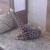 2/28: Giraffen-Geburt – LIVE